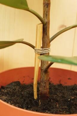 Tuteur pour plante brosse à dents en bambou